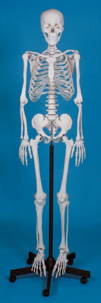 Erler Zimmer - anatomski modeli - Derby Trade